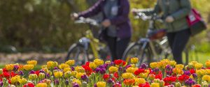 A photo of people walking their bikes behind a beautiful flower bed filled with colourful tulips.